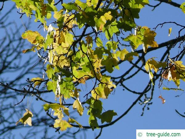field maple (Acer campestre) in autumn