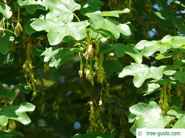 field maple (Acer campestre) flowers