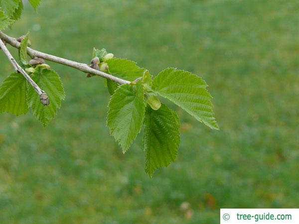 turkish filbert hazel (Corylus colurna) budding