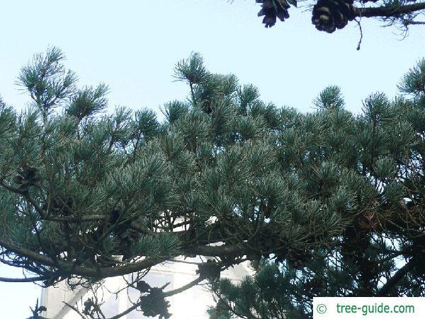 five needle pine (Pinus parviflora) branch