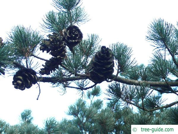 five needle pine (Pinus parviflora) cones