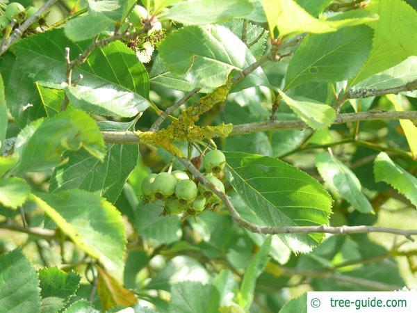 frosted hawthorn (Crataegus pruinosa) leaf arrangement