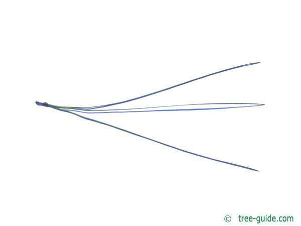 ghost pine (Pinus sabiniana) needle