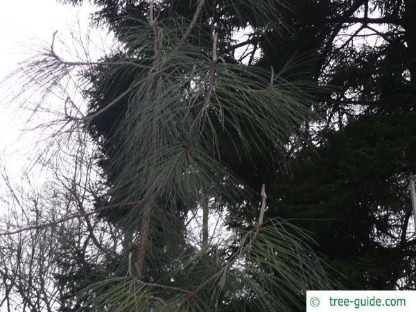 ghost pine (Pinus sabiniana) tree