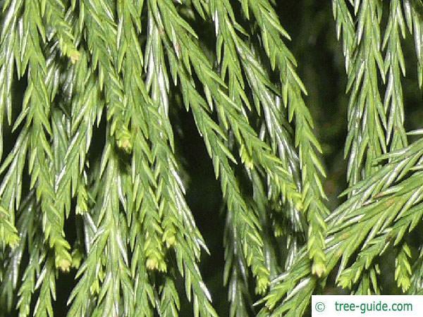 giant sequoia (Sequoiadendron giganteum)  needles