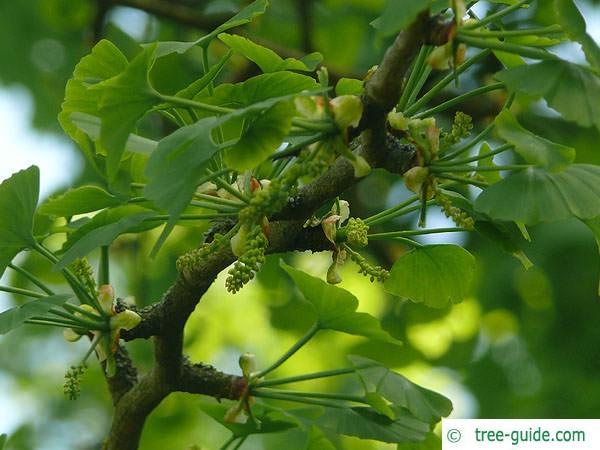 ginkgo (Ginkgo biloba) flower