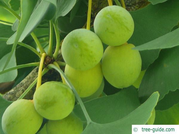 ginkgo (Ginkgo biloba) fruits