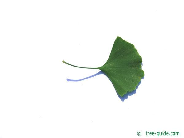 ginkgo (Ginkgo biloba) leaf underside