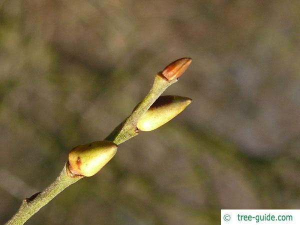 goat willow (Salix caprea) bud