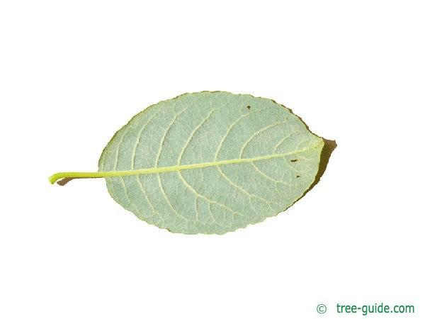 goat willow (Salix caprea) leaf underside