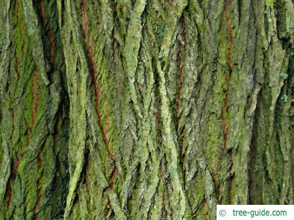 goat willow (Salix caprea) trunk / bark