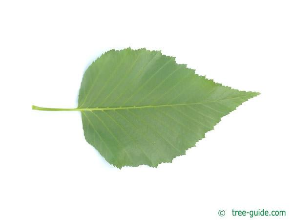gold birch (Betula ermanii) leaf underside