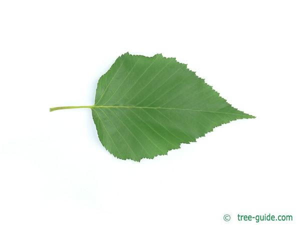 gold birch (Betula ermanii) leaf