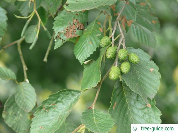 gray alder (Alnus incana) fruit cones