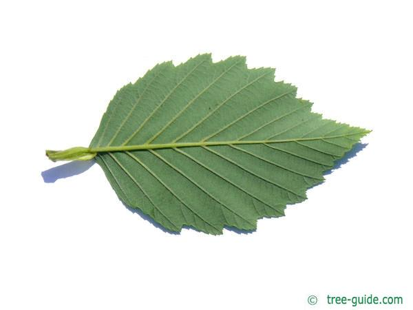 gray alder (Alnus incana) leaf underside