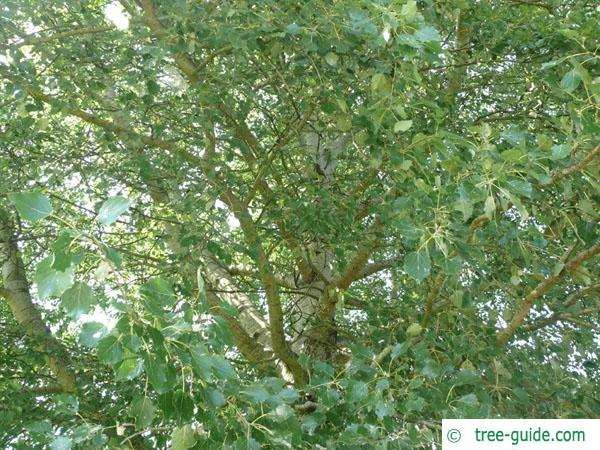 gray poplar (Populus × canescens) leaves