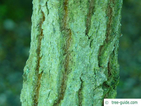grey ironbark (Eucalyptus paniculata) trunk / bark