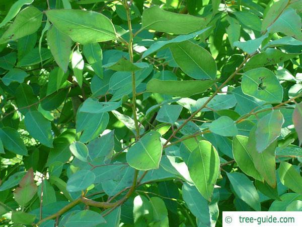grey ironbark (Eucalyptus paniculata) leaves