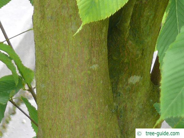 hornbeam maple (Acer carpinifolium) trunk / bark