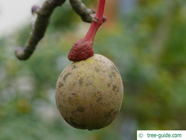 handkerchief tree (Davidia involucrata) fruit