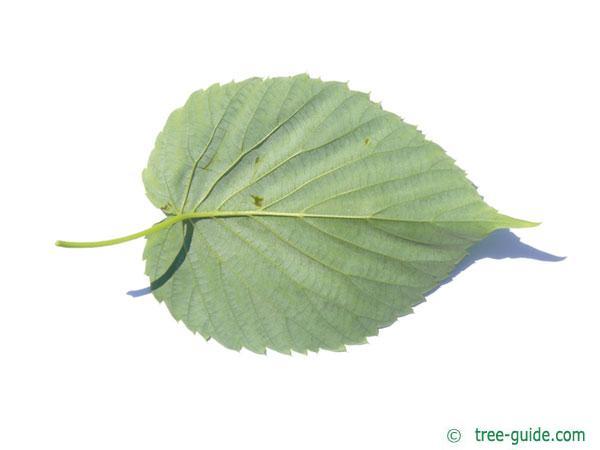 Handkerchief Tree (Davidia involucrata) leaf underside