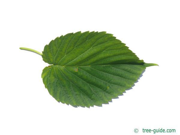 Handkerchief Tree (Davidia involucrata) leaf