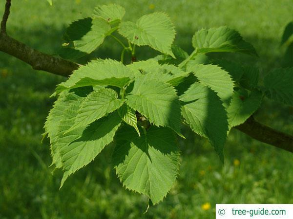 Handkerchief Tree (Davidia involucrata) leaves