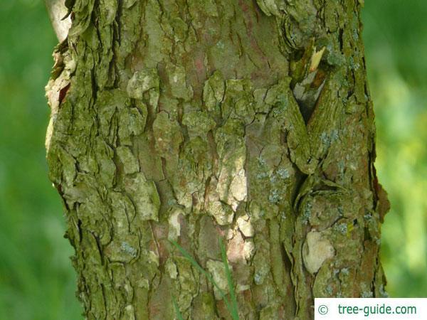 handkerchief tree (Davidia involucrata) trunk / bark