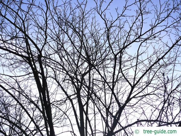 hardy rubber tree (Eucommia ulmoides) tree crown in winter
