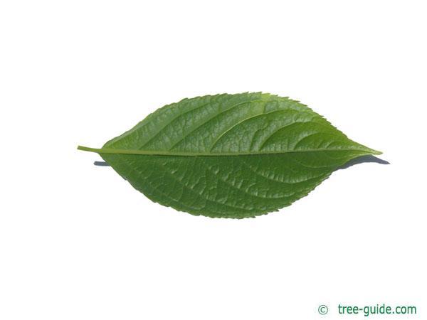 hardy rubber tree (Eucommia ulmoides) leaf underside