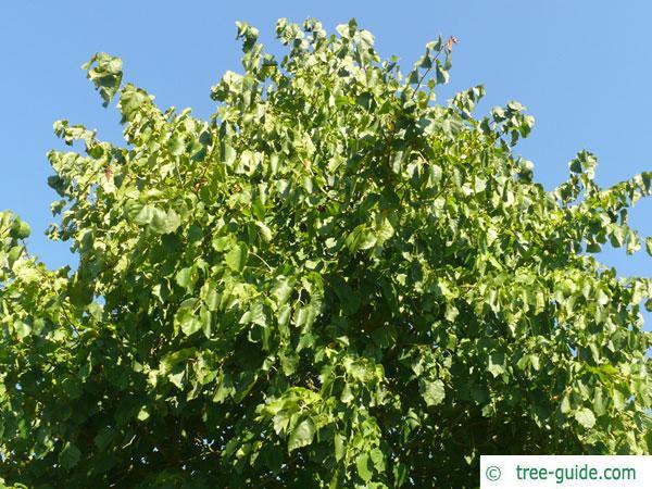 turkish filbert hazel (Corylus colurna) crown in summer