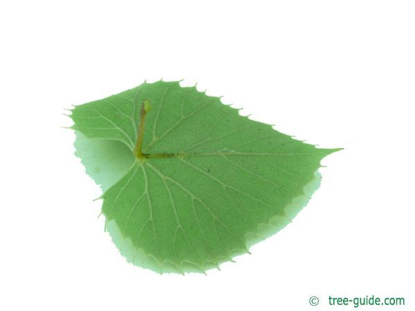 henry's lime (Tilia henryana) leaf underside