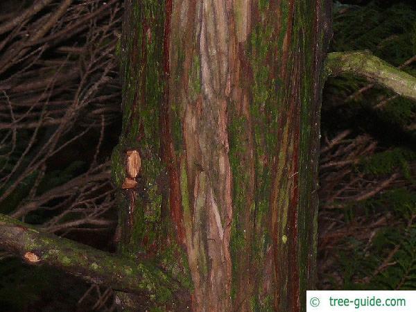 hinoki cypress (Chamaecyparis obtusa) trunk