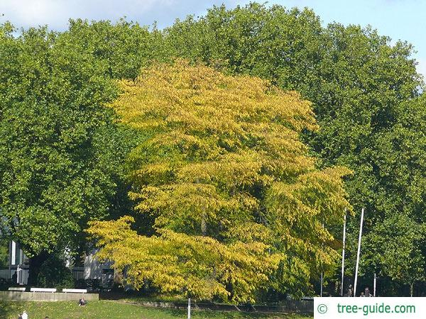 honey locust (Gleditsia triacanthos) tree