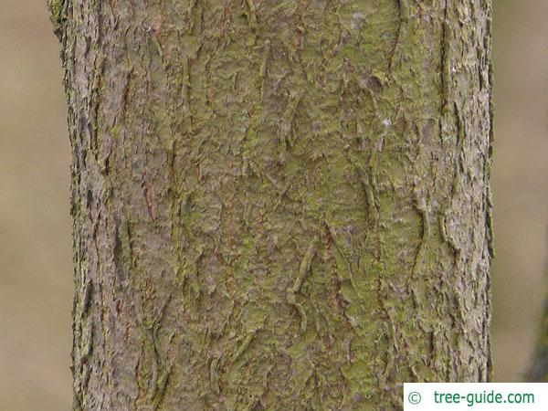 hoptree (Ptelea trifoliata) trunk / bark