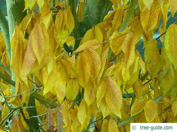 hornbeam maple (Acer carpinifolium) leaves in autumn