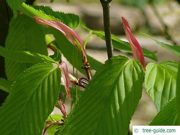 hornbeam maple (Acer carpinifolium) budding