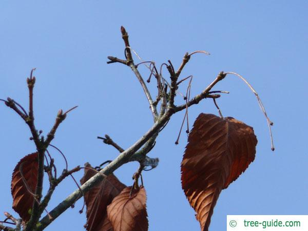 hornbeam maple (Acer carpinifolium) in Winter with brown leaves and buds