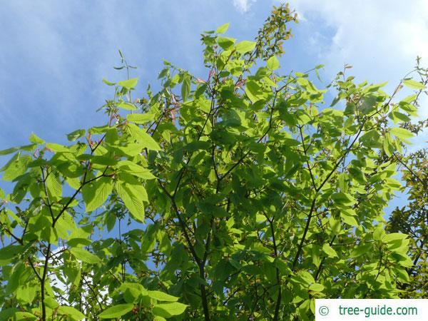 hornbeam maple (Acer carpinifolium) tree in summer