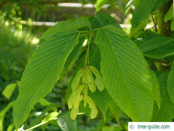 hornbeam maple (Acer carpinifolium) leaves and fruits