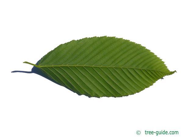 hornbeam maple (Acer carpinifolium) leaf underside