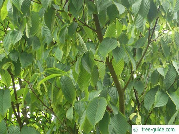 hornbeam maple (Acer carpinifolium) leaves