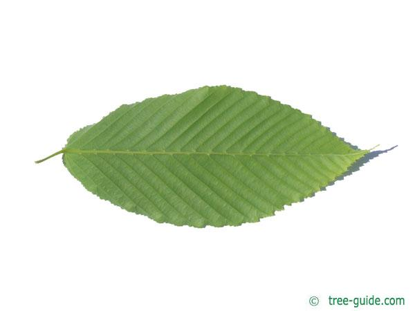 hornbeam maple (Acer carpinifolium) leaf