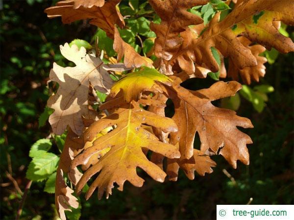 hungarian oak (Quercus fainetto) foliage in autumn