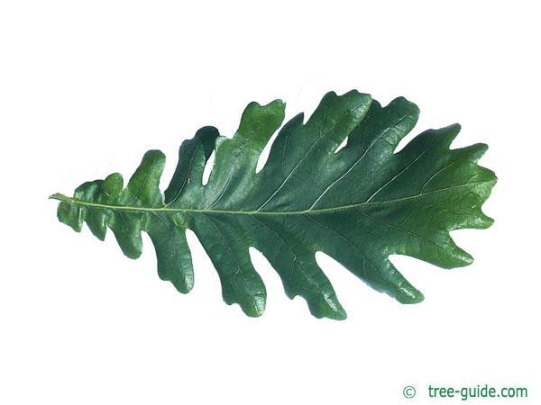 hungarian oak (Quercus fainetto) leaf