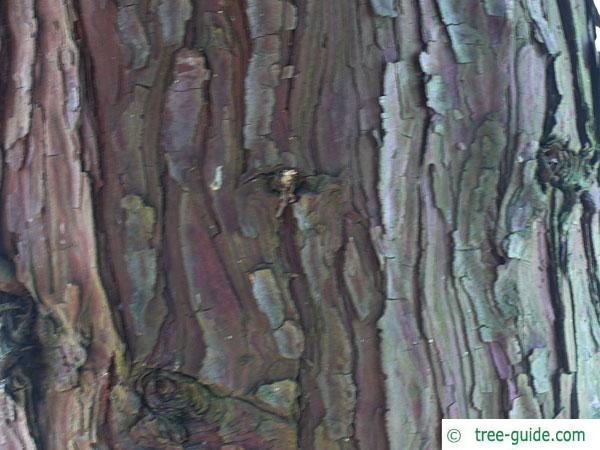 incense cedar (Calocedrus decurrens) trunk / bark