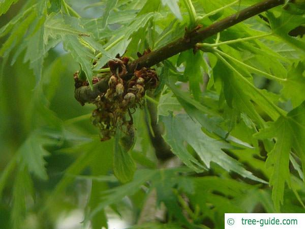 dissected norway maple (Acer saccharinum 'Wieri') flower