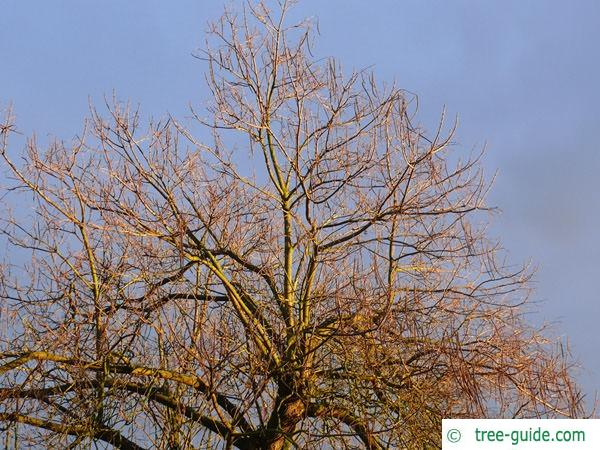 indian bean tree (Catalpa bignonioides) in winter