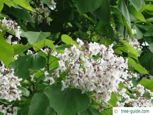 indian bean tree (Catalpa bignonioides) flower
