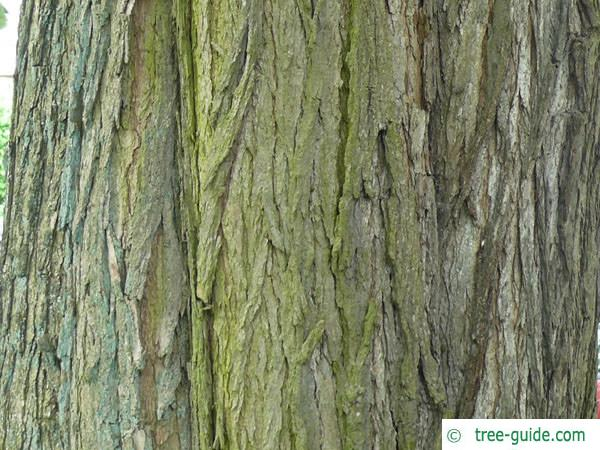 indian bean tree (Catalpa bignonioides) trunk / bark